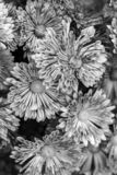 Black - white texture of chrysanthemum flowers. monochrome stock image