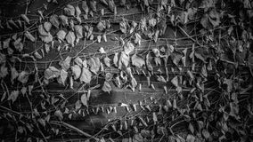Black and white texture of fence overgrown with ivy Stock Image