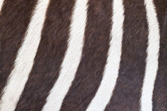 Black and white texture of zebra skin Stock Photo