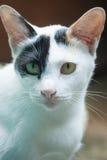 Black and white thai cat Royalty Free Stock Photo