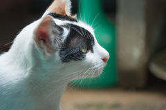Black and white thai cat Royalty Free Stock Images