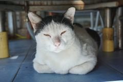 Black and white Thai native cat Royalty Free Stock Images