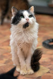 Black with white  thin fluffy cat Royalty Free Stock Photo
