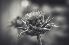 Black-and-white Thistle flower closeup Royalty Free Stock Images