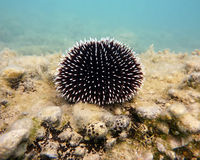 Black and white thorned sea urchin Royalty Free Stock Photography