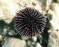 Black and white thorned sea urchin Stock Photo
