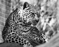 Black and White Tiger(1) Stock Images