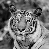 Black and white tiger Stock Photography