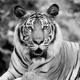 Black and white tiger Royalty Free Stock Photos