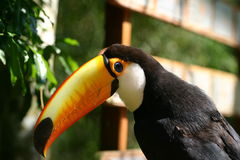 The black and white toucan. In a bird park Royalty Free Stock Photography