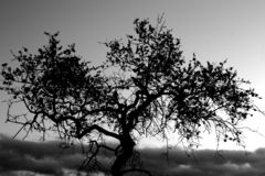 Black and White Tree. Sombre image of an almond Tree against the Sky in Stark Contrasting Black & White Stock Image