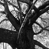 Black and White Tree. Inkaya — a huge centuries-old (aprx 600 years) plane (Platanus orientalis) tree Royalty Free Stock Photos