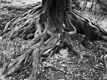 Black and white tree root royalty free stock image