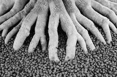 Black and white  tree roots Royalty Free Stock Photo