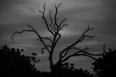 Black and White Tree Silhouette against Cloudy Sky. Against gray cloudy skies, the black silhouetted bare limbs of this tree sprouting past the bushes below Royalty Free Stock Photography