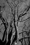 black and white tree Royalty Free Stock Images
