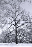 Black and white tree in the woods. A black and white tree in the woods. Snow covers the ground and the branches Stock Photos