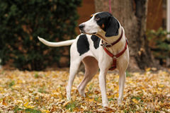 Black and white treeing walker coonhound god Stock Photo