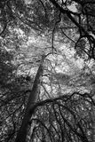 Black and white trees, forest background Stock Photo