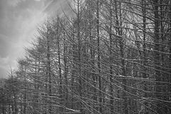 Black and white trees silhouettes. Gloomy winter black and white trees silhouettes stock images
