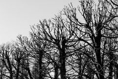 Black and white trees silhouettes Royalty Free Stock Image