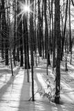 Black and White Trees with Sun Starburst. Black and white trees in snow with sun starburst creates warm look at winter royalty free stock image
