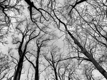 black and white trees in winter royalty free stock photo