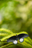Black and white tropical butterfly with green background Stock Images