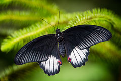 Black and white tropical butterfly resting on the branch Royalty Free Stock Photography