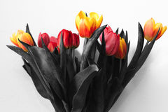 Black and white tulips with colored flower buds Royalty Free Stock Images