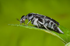 A black and white tumbling flower beetle Royalty Free Stock Images