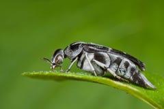 Black and white tumbling flower beetle Stock Image