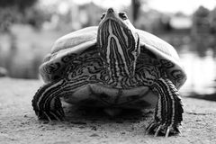 Black and white turtle walking on the ground Stock Photos