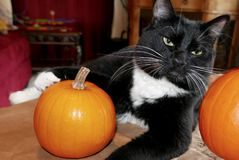 Tuxedo cat with her paw on a small pumpkin Stock Photography