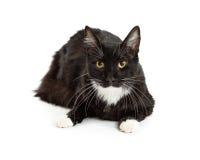 Black and white tuxedo cat lying down. Pretty black and white color tuxedo cat with long fur Stock Photo