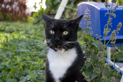Black and White Tuxedo Cat Outdoor. Tuxedo cat licking is lips after eating catnip Stock Image