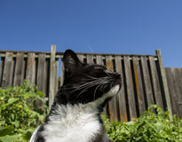 Black and White Tuxedo Cat Outdoors Stock Photos