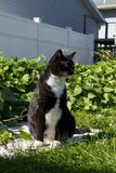 Black and White Tuxedo Cat Outside. Tuxedo cat outdoor in the garden Royalty Free Stock Image