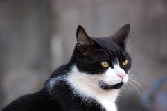 Black and white Tuxedo cat portrait. Tuxedo cat in focus with gray tone background, white whiskers stock photo