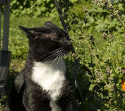 Black and White Tuxedo Cat Sniffing Catnip. Black and white tuxedo cat sniffing and eating catnip outside Royalty Free Stock Images