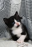 black & white tuxedo kitten Royalty Free Stock Photo