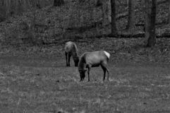 Black and White Two Elk Standing and Eating in a Forest royalty free stock image