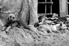 Black and white two sad dogs on sand pile construction Royalty Free Stock Image