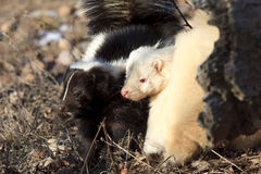 Black and white. Two young skunks one black the other albino hunting for grubs in log Royalty Free Stock Photography