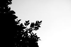 Black and white under dark shadow shade of branches leaves bush on white background. Abstract monotone black and white under dark shadow shade of branches Royalty Free Stock Photography