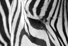 Black and White up-close Royalty Free Stock Photos