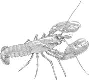 Homarus. Black and white vector illustration of lobster with big claws Royalty Free Stock Images