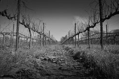 Black and White View Down Row of Vines. View down a row of vines in Sonoma county Stock Image