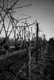 Black and White Vines. View down a row of vines in Sonoma county Stock Photos