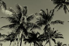 Black and White Vintage Palm Trees Royalty Free Stock Photos